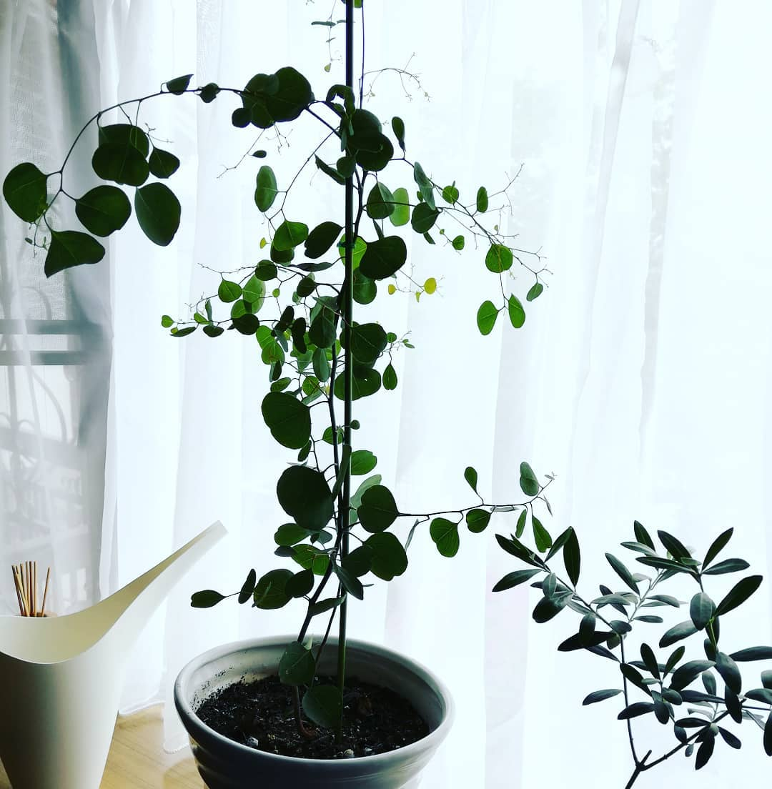 数ヶ月前にコーナンで買ったユーカリ  レジ前で並んでる最中、いろんな方に 「それなんの苗?花は咲くの?なんて名前の木?」っていっぱい聞かれました🥰  なんか葉っぱが可愛らしい。 色が少し白っぽい緑、シャービックな雰囲気なので、オバサマ方も気になったようです。  数カ月で、2倍の大きさに。  #植え替えは夫担当 #ユーカリ #葉っぱが可愛い #小さく買って大きく育てる